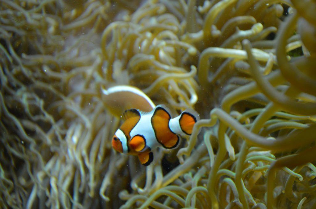 oceanopolis-poisson-clown-nemo-2