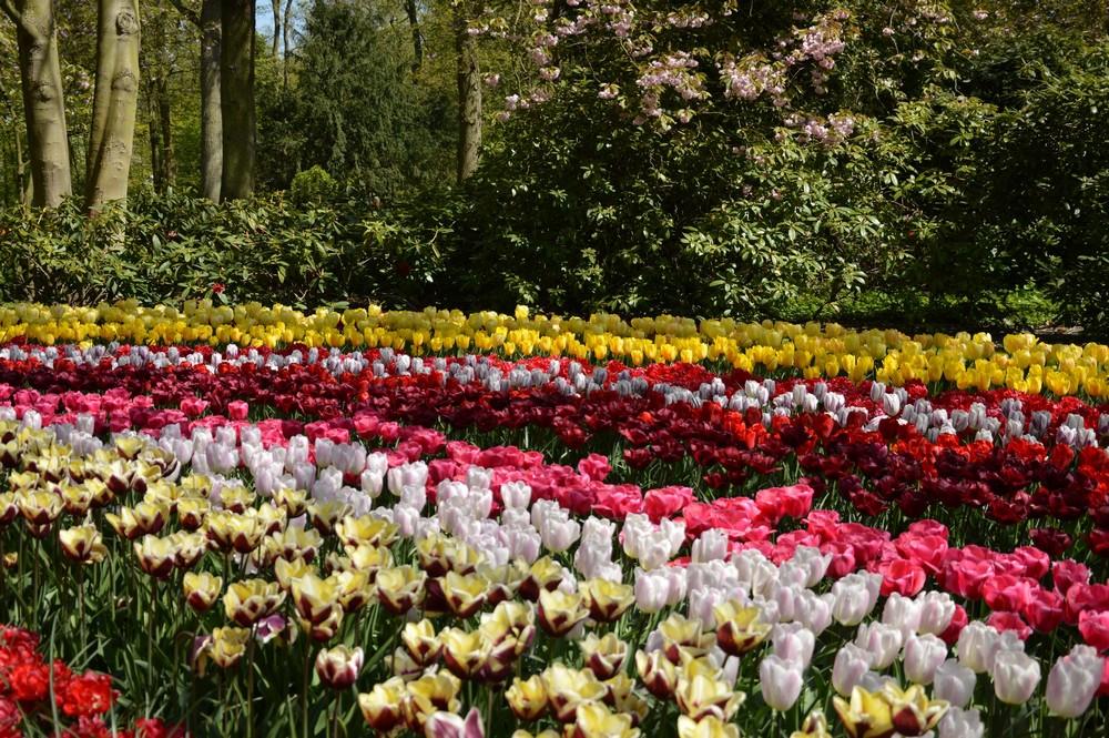 Tulipes - Pays-Bas