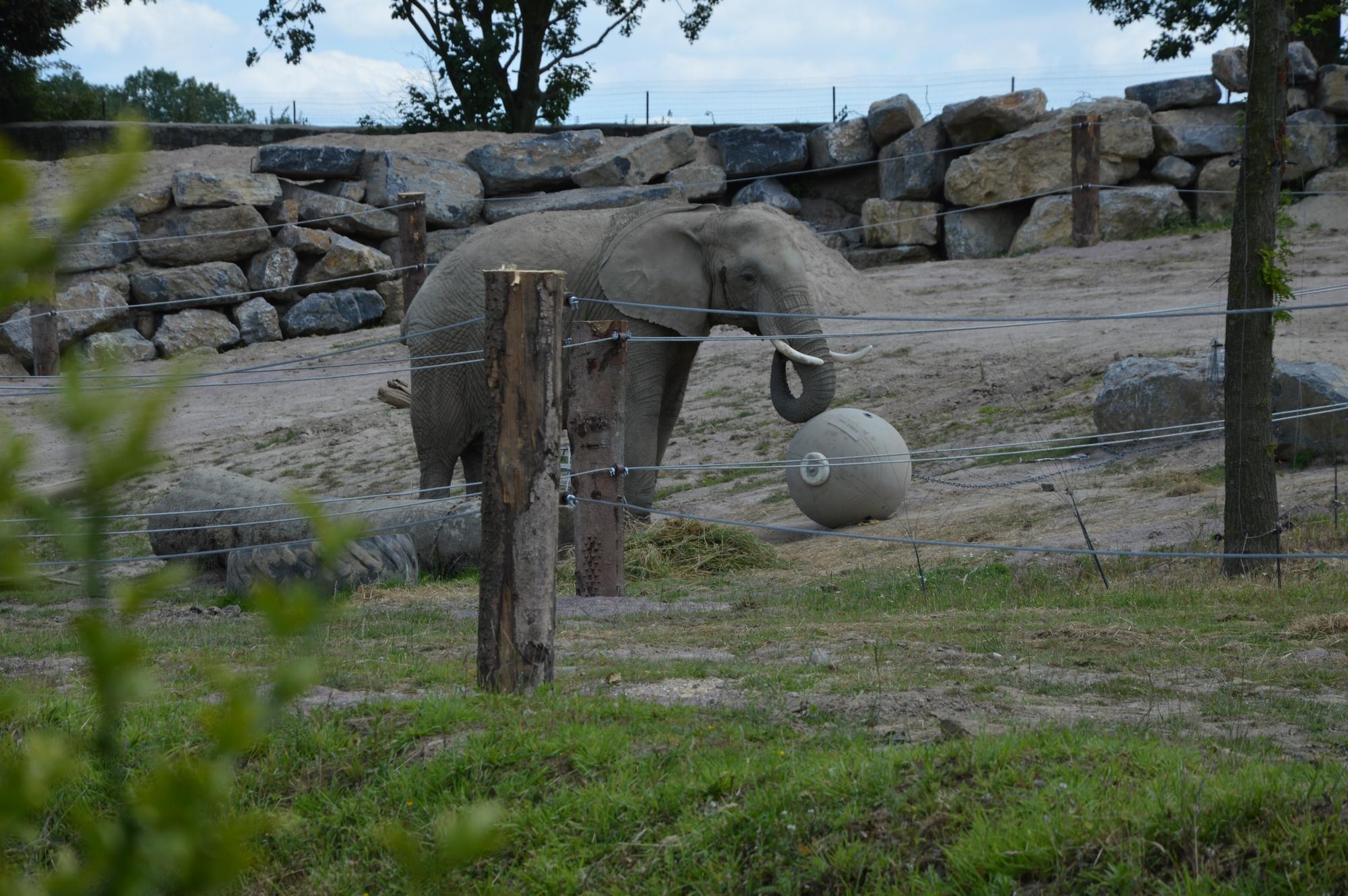 elephant-dafrique-pairi-daiza