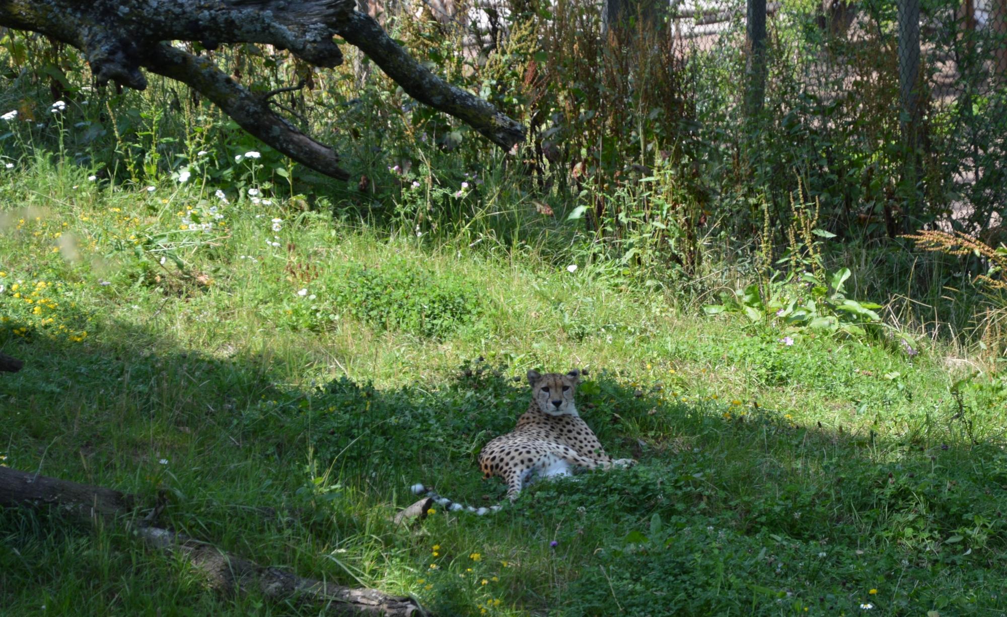 guepard-allonge-a-pairi-daiza