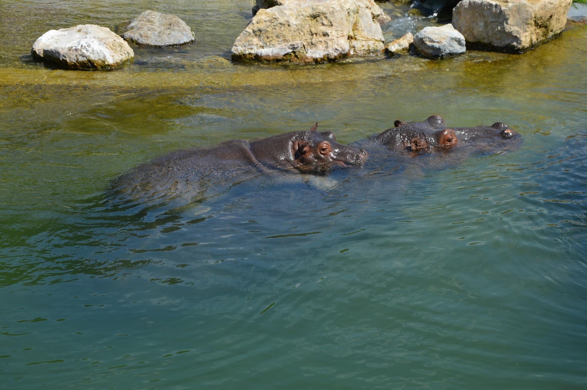 hippopotame-bebe-sur-le-dos-dun-des-deux-parents-pairi-daiza