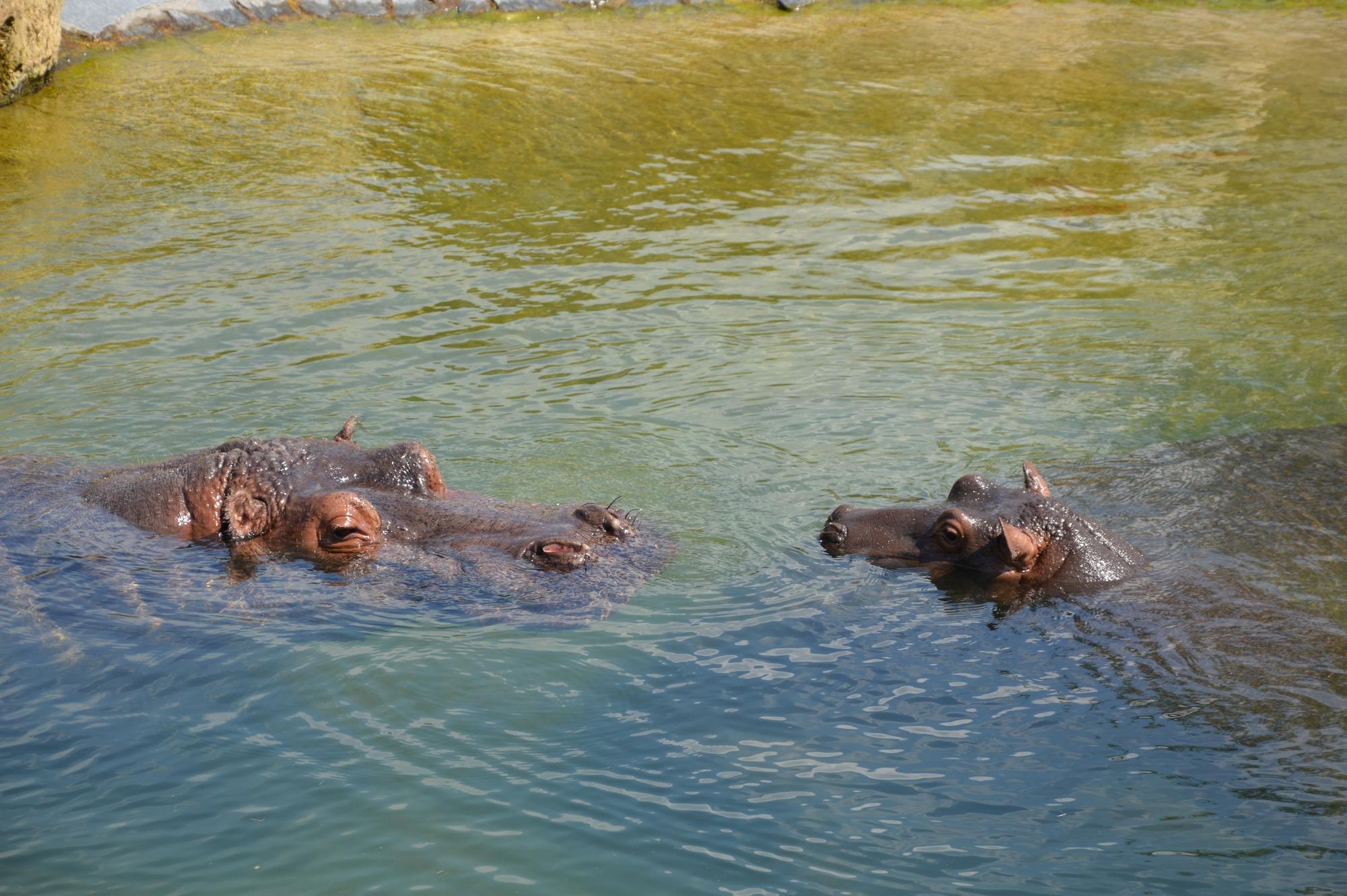 hippopotames-dans-leau-bebe-et-adulte-pairi-daiza