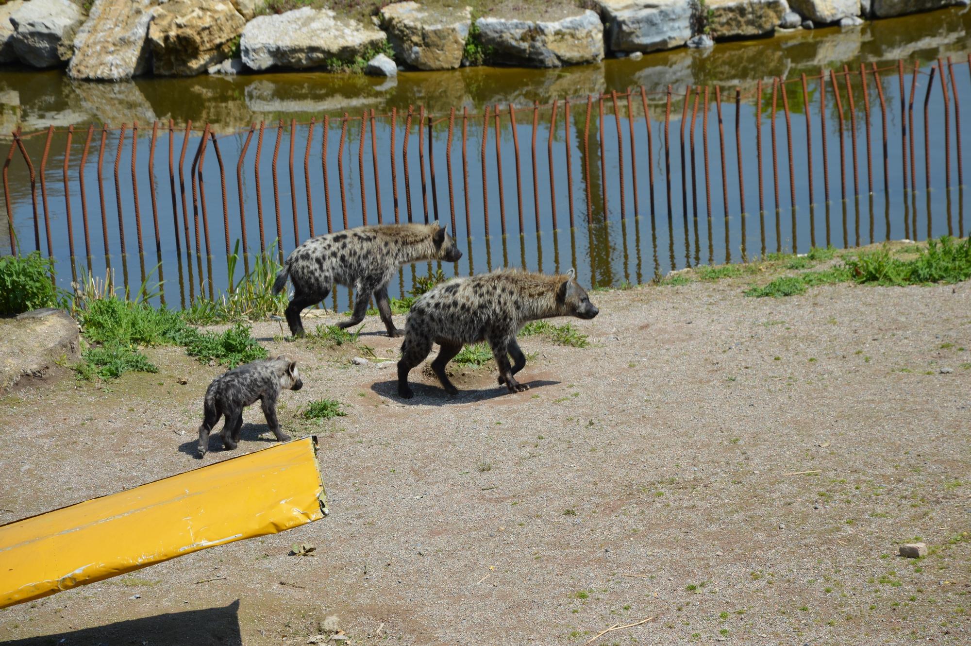 hyenes-famille-pairi-daiza