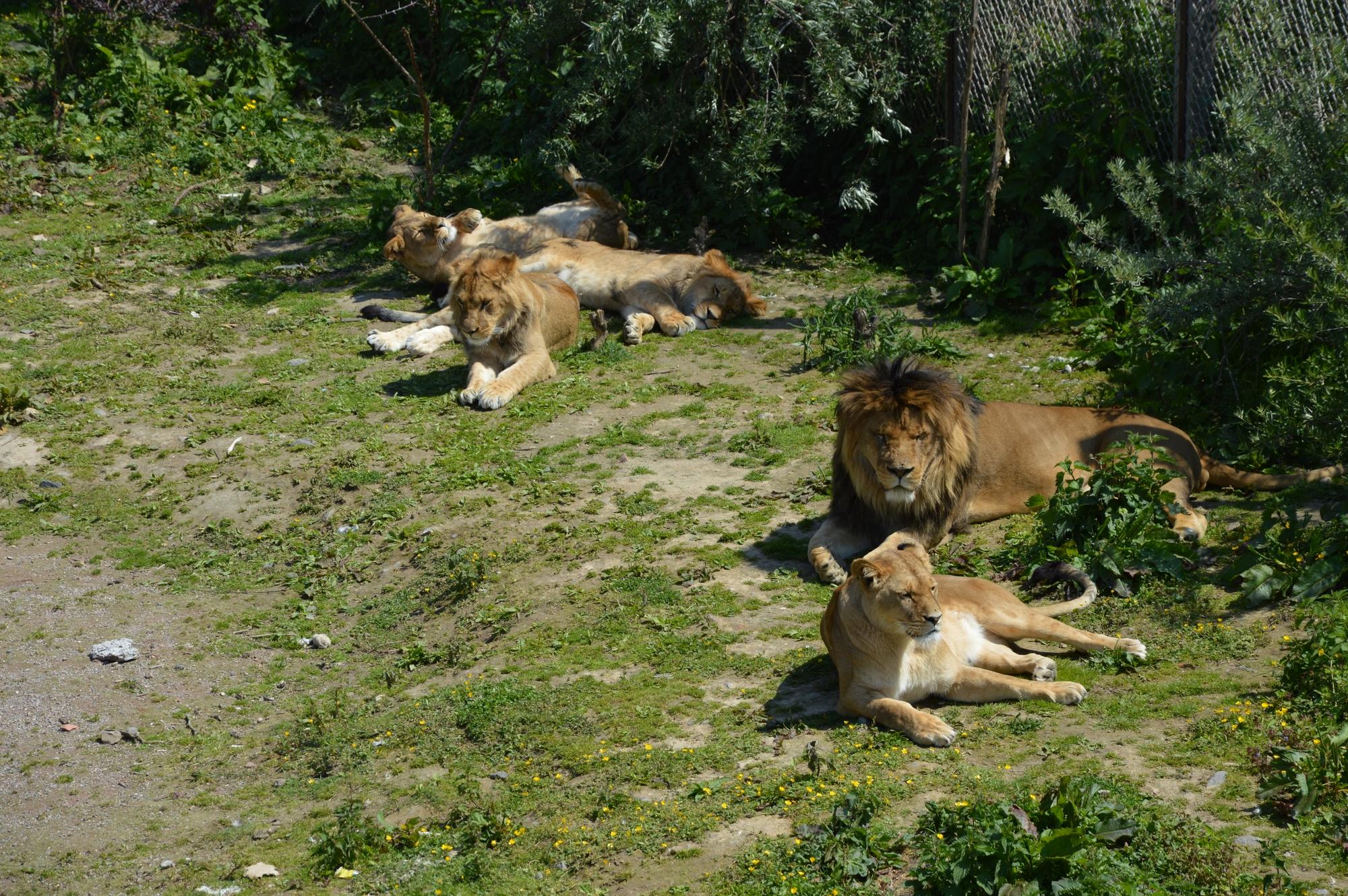 lions-famille-pairi-daiza