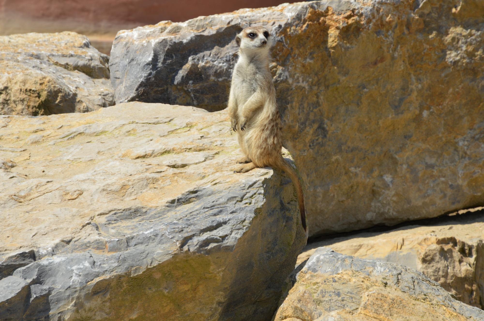 suricate-pairi-daiza