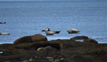 Observation des phoques dans le Parc du Bic