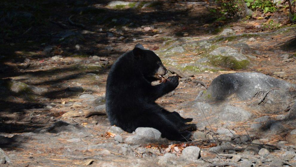Rencontre avec les ours au Domaine le Pic-Bois