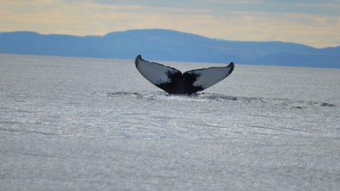Safari aux baleines sur le Saint-Laurent